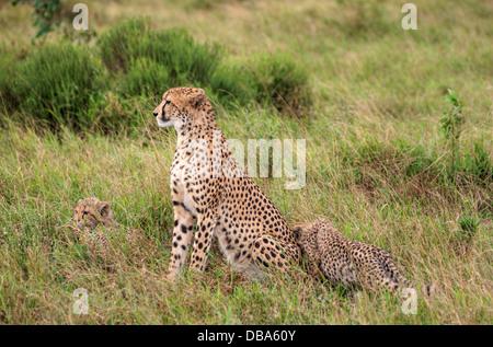 Guepardo (Acinonyx jubatus) madre y dos hijos. Phinda Game Reserve, Sudáfrica Foto de stock