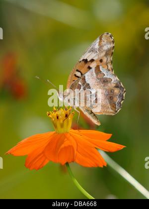 Una pequeña mariposa, Speyeria moteado en una flor de naranja, Euptoieta claudia