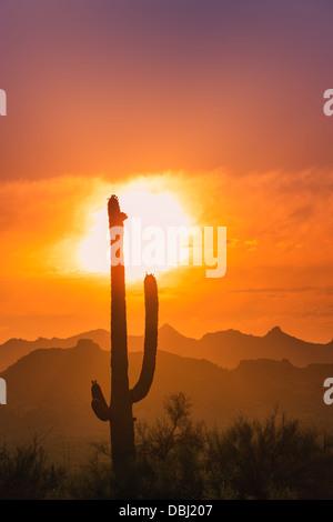 Cacto Saguaro al atardecer en el Parque Estatal Lost Dutchman, Arizona, EE.UU.