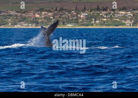 La ballena jorobada, Megaptera novaeangliae, cerca de la costa occidental de la isla de Maui en Hawai.