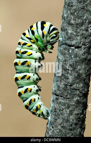 Etapa de pre-pupa E Especie Papilio polyxenes mariposas E EE.UU.
