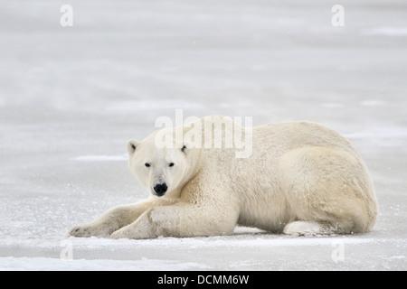 El oso polar (Ursus maritimus) acostada sobre hielo y mirando a la cámara, Churchill, Manitoba, Canadá.