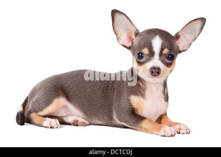 Chihuahua joven mirando la cámara en un disparo a la cabeza, sobre un fondo blanco.