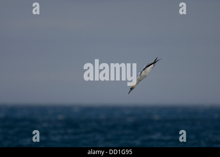 Gannet del norte, vuelo, vuelo, nariz-buceo, nariz, Basstölpel, Baßtölpel, Flug, Tölpel, Sula bassana, Morus basanus Foto de stock