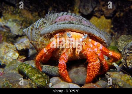 Cangrejo ermitaño, crustáceos, dec�odos Paguroidea