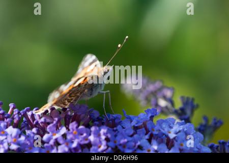 Un Painted Lady butterfly (Vanessa cardui) descansa entre alimentaciones de Buddleia flores