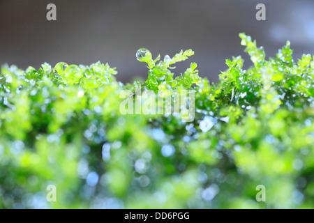 Las gotas de agua y musgo