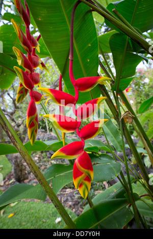 Heliconia, colgantes Waipio Valley, Isla de Hawai Foto de stock