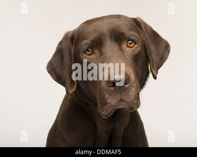 Labrador Retriever chocolate perro adulto hembra retrato sobre fondo blanco studio