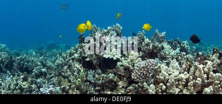 Amarillo tang (Zebrasoma flavescens), Kahekili Beach Park, Lahaina, Maui, Hawaii, EE.UU.