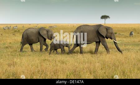 Bush Elefante africano (Loxodonta africana), grupo con el ternero recién nacido vagando paisaje con cielo tormentoso Foto de stock