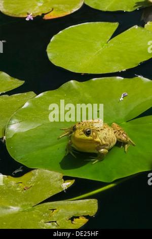 Rana Verde (Rana clamitans) descansando sobre una hoja de lirio en la superficie de un estanque, Laurentides, Provincia de Québec, Canadá