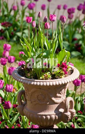 Los tulipanes en un jardín y la sembradora, Cheshire, Inglaterra, Reino Unido.