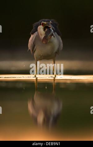 Negro-noche coronado heron (Nycticorax nycticorax) ingerir una gran bagre en pr-edawn luz, vista frontal