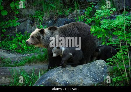 Oso pardo (Ursus arctos) con sus cachorros, Langenberg Zoo, Adliswil, Cantón de Zurich, Suiza