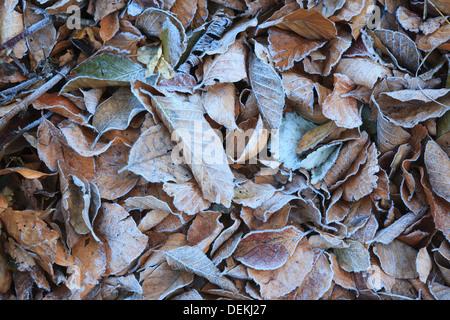 Escarcha en el Beech europeo caído hojas (Fagus sylvatica). El Parque Natural del Montseny. Barcelona. Cataluña. España.