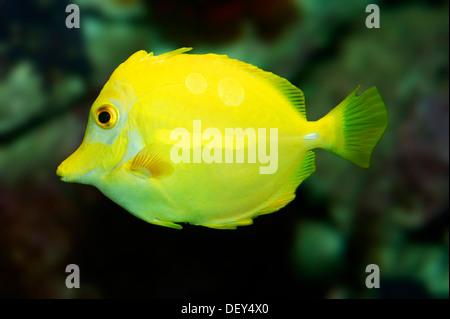 Amarillo Tang (Zebrasoma flavescens), nativa del oeste del Océano Pacífico, cautivo, Renania del Norte-Westfalia, Alemania