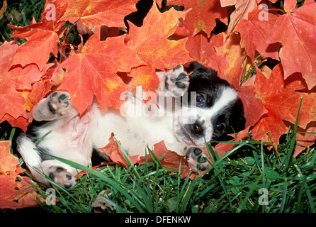 Blanco y negro cachorro manchada en la hierba con hojas de arce naranja-- vientre arriba, Missouri, EE.UU.