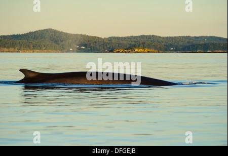 Finback ballena en la bahía de Fundy