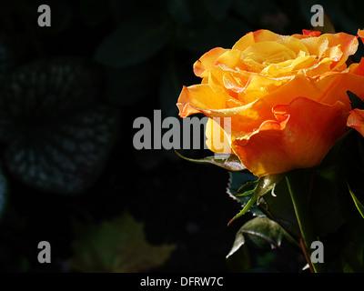 Rosa naranja está brillando en el sol después del mediodía contra un oscuro, verdoso, la parte trasera del terreno.