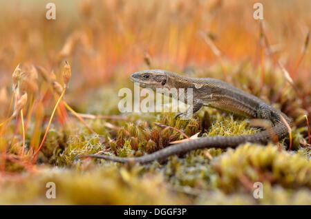Ovíparos o lagarto lagarto común (Zootoca vivipara), para adultos, entre las esporas de musgo, Dortmund, districto de Ruhr