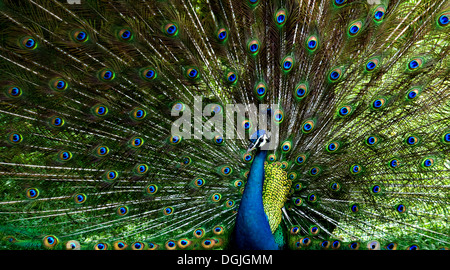 Un pavo real mostrando su plumaje.