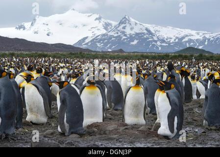 Pingüinos rey (Aptenodytes patagonicus) aves adultas incubando huevos, colonia reproductora, la llanura de Salisbury, Georgia del Sur y las