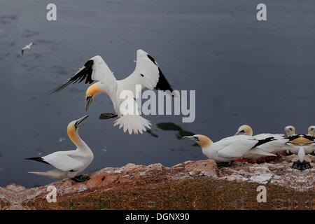Volando el norte de alcatraces (Morus bassanus) durante un cortejo mostrar en una colonia reproductora, Bird Rock, Helgoland Foto de stock