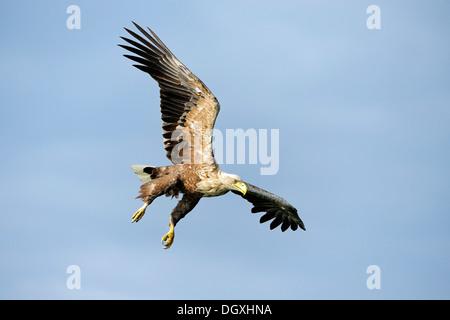 El águila de cola blanca (Haliaeetus albicilla), acercando