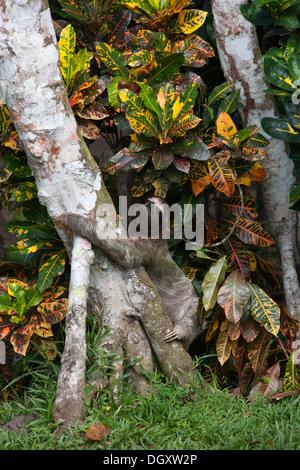 Wild Brown-throated perezoso de tres dedos (Bradypus variegatus) subiendo árbol para cruzar a otro árbol en el suelo