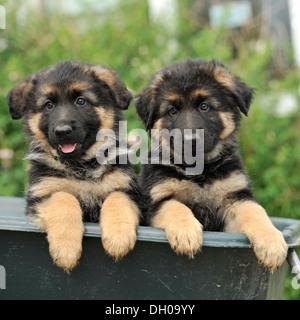 Dos cachorros de perro pastor alemán