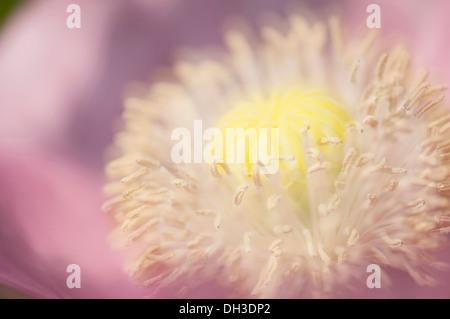 La amapola, Papaver somniferum. Cerrar vista recortada de desarrollar semilla cabeza y estambres. El enfoque selectivo, suaves efectos.