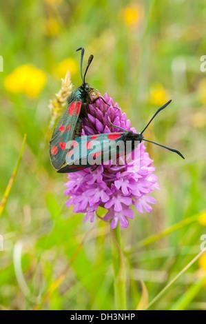 6-spot Burnett, Zygaena filipendulae, par de apareamiento, anacamptis pyramidalis Orquídea piramidal,