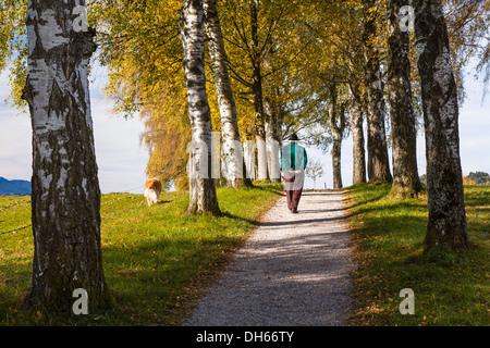 Rambler con un perro caminando por un callejón de abedul en otoño, Uffing, Alta Baviera, Baviera, Alemania