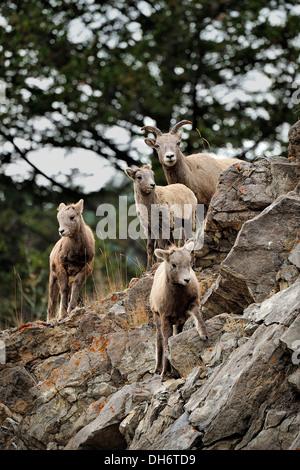Una familia de borrego cimarrón caminando sobre un saliente rocoso.