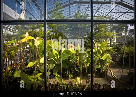 Macrorrhizos Alocasias y pinos de Norfolk Island en el invernadero del centro de rendimiento hortícola de Vichy (Francia).