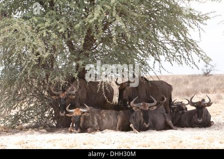El ñu azul (connochaetes taurinus) manada descansando bajo la sombra de un árbol en el desierto de Kalahari, Sudáfrica