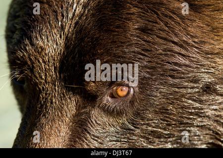 Ee.Uu., Alaska, Katmai National Park, cerca de la costa y del ojo del oso pardo (Ursus arctos) Hocico
