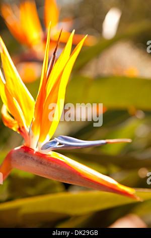 Cerca de ave del paraíso flor en el soleado jardín