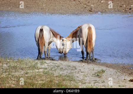 Dos caballos blancos como amantes en un pequeño río