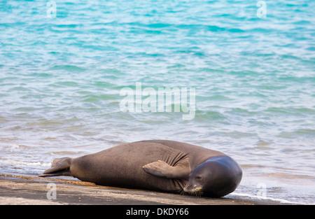 La foca monje hawaiana (Neomonachus schauinslandi) regodearse en el Atolón de Midway en el Monumento Nacional Marino Papahanaumokuakea
