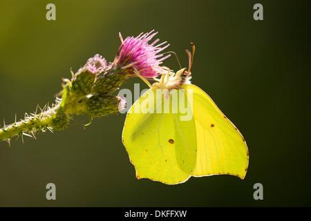 Brimstone (Gonepteryx rhamni) succionar el néctar, Baja Sajonia, Alemania