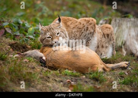 El lince (Lynx lynx), macho, con la presa el corzo (Capreolus capreolus), cautiva, Turingia, Alemania