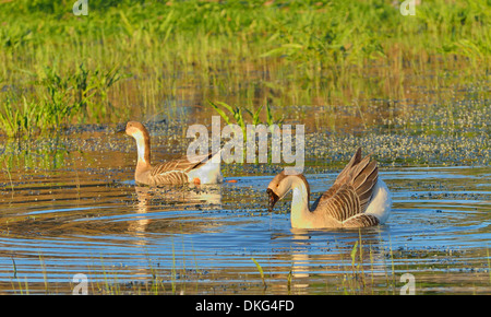 Dos patos silvestres nadando en el río
