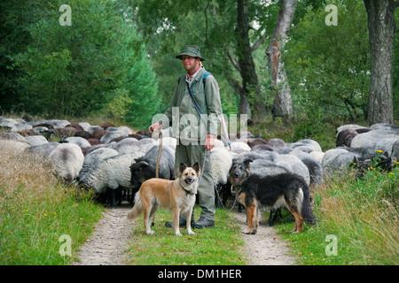 Pastor con perros de pastor pastoreando ovejas de Heidschnucke, raza de ovejas de páramos en Lüneburg Heath / Lunenburg brezales, Alemania