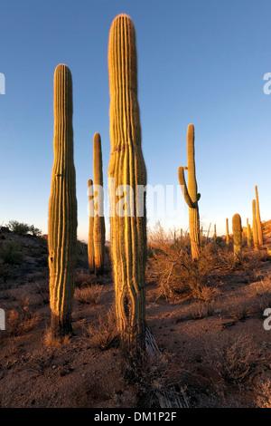 Cactus gigante saguaro (Carnegiea gigantea), el Parque Nacional de Saguaro, West, unidad de Tucson, Arizona.