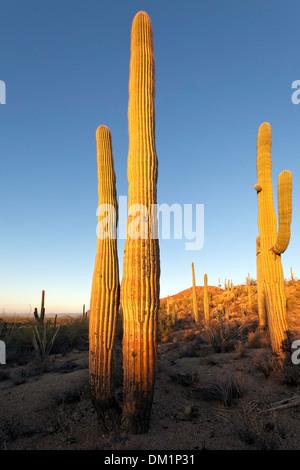 Cactus gigante saguaro (Carnegiea gigantea), West Parque Nacional Saguaro, Tucson, Arizona.