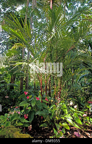 En el Hawaii Anthuriums jardín botánico tropical de 37 acres de reserva natural y santuario en Onomea Bay, al norte de hilo. Foto de stock