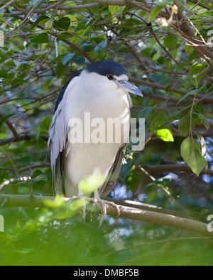 El negro se coronó la noche, garzas, o simplemente la noche Heron, es una mediana heron encontrados a lo largo de una gran parte del mundo.