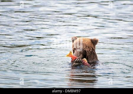 Grizzly Bear comer salmón, Ursus arctos horriblis, Brooks River, Parque Nacional Katmai, Alaska, EE.UU.